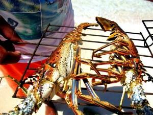 lobster-sent-with-Iridium-Go-300x225